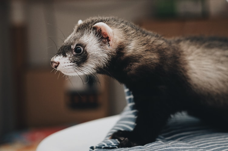 Ferret As A Pet? Here's What You Need To Know