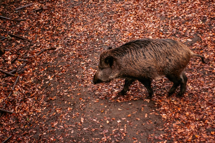 Facts About Teacup Pigs You Must Know
