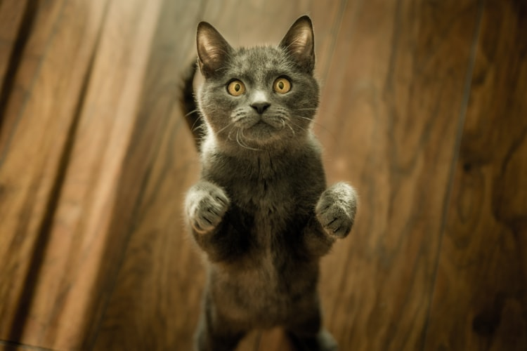 Smallest Cat Breeds In The World